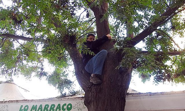 El portaveu d'Ipcena s'enfila a l'arbre inclinat de la plaça Sant Joan i evita que la Paeria el tali