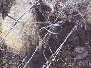 Snaring badgers is illegal