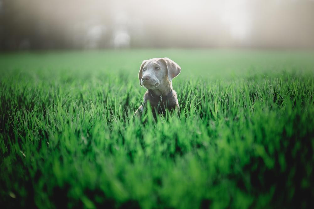 Hundeportrait im Feld