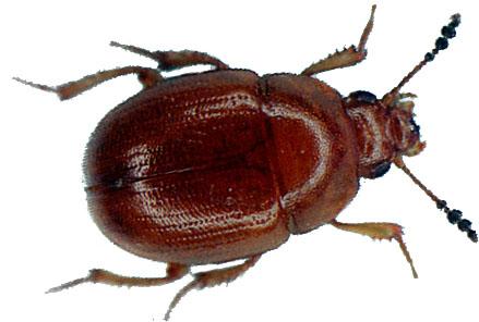 Der Trüffelkäfer wird auch Schwammkugelkäfer genannt , Leiodidae (früher Liodidae), Anisotomidae