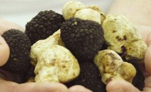 Trüffelfälschungen - Der zunehmende Betrug mit Lebensmittelfälschungen in Italien