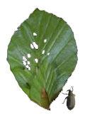 Der Buchenspringrüssler ist ein Trüffelbaumschädling