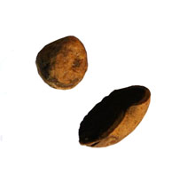 Die Hirschtrüffel ist ein Hypogäe und gehört bilogisch gesehen nicht zu den Trüffelarten (Tuber). Sie wird dennoch von Trüffelhunden gefunden und ist ungeniessbar. Form: Peride leicht glatt bis genoppt, beige bis bräunlich, Fruchtkörper 15-30 mm Durchmess