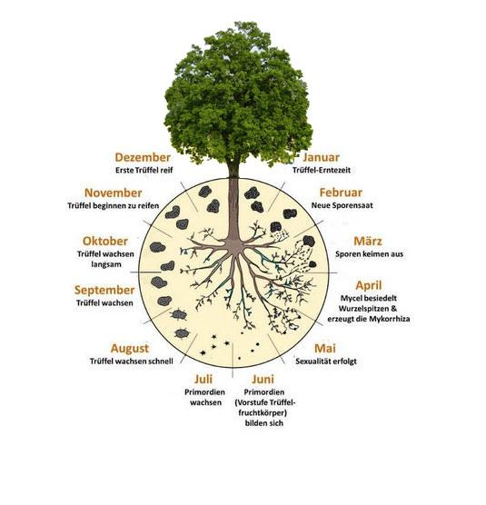 Der Lebenszyklus dauert mehrere Monate: Es beginnt mit der Keimung von Trüffelsporen, die in großen Mengen im Trüffel selbst enthalten sind (über 1 Million Sporen in 1 g Trüffel). Ab dem Ende des Winters keimen diese Sporen zu einem Myzel