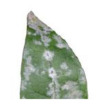 Der echte Mehltau auf einem Blatt - Trüffelbaumschädling