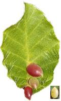 Die Buchen Gallmücke ist ein Trüffelbaumschädling und ein Trüffelsuchernützling