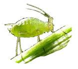 Der Trüffelbaumschädling die Blattlaus