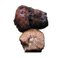 m Deutschen nennt man sie auch Holztrüffel, Hohltrüffel oder Olivbraune Trüffel. Diese Trüffelart wurde hauptsächlich in höheren Lagen gefunden bis in einer Höhe von 1.600 m. Sie leben gerne bei Eichen oder anderen Laubbäumen. Nadelgehölze als Wirte mögen