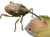 Haselnussbohrer mit angebohrter Haselnuss - Trüffelbaumschädling