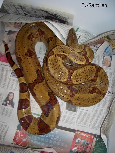 Boa c. ssp.. Bei diesem Tier handelt es sich um eine stark hypomelanistisches Farbvariante. Es soll nicht unerwähnt bleiben, dass es auch natürlich vorkommende Hypomelanisten, wie Hogg Island Boas gibt!
