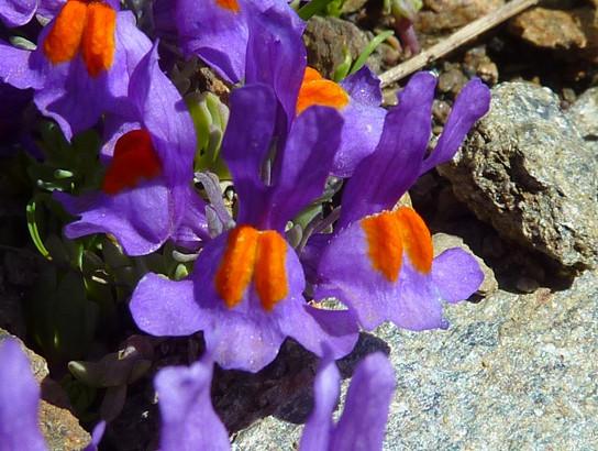 Linaria alpina (L.) Mill.     -     Plantaginaceae     -     Linaire des Alpes
