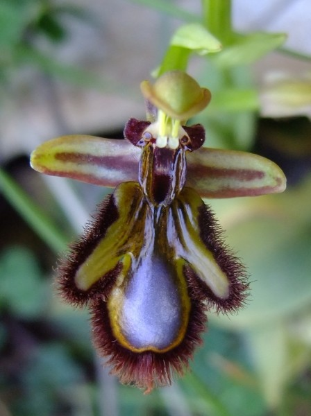 Ophrys speculum Link (Ophrys miroir)