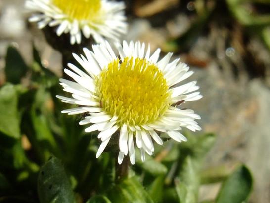 Erigeron uniflorus L.     -     Asteraceae      -     Vergerette à une fleur