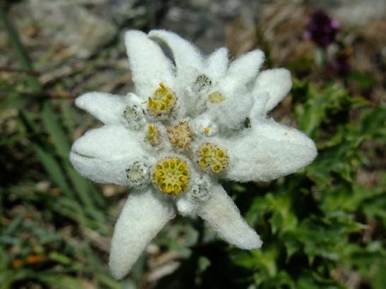 Leontopodium alpinum Cass.     -     Asteraceae     -     Edelweiss