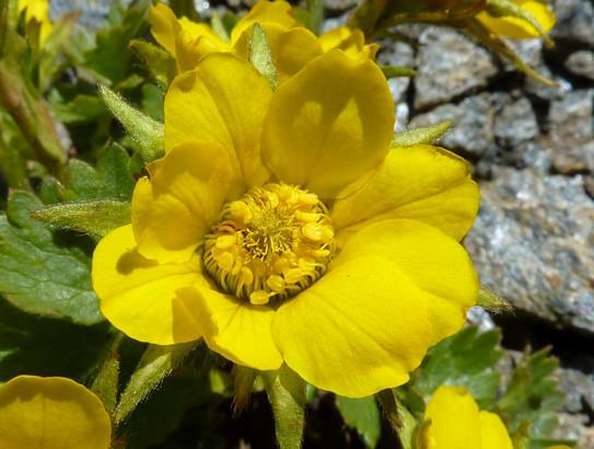 Geum reptans L.     -          Rosaceae     -          Benoîte rampante