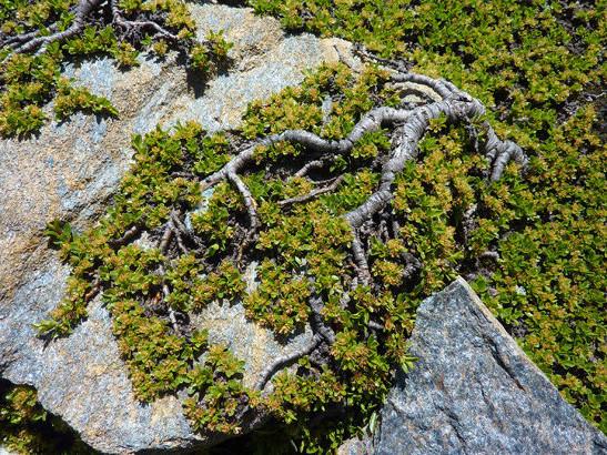 Salix serpyllifolia Scop.     -          Salicaceae     -          Saule à feuilles de serpolet