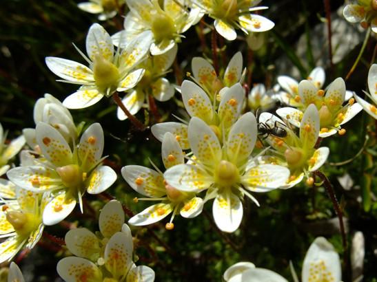 Saxifraga bryoides L.     -     Saxifragaceae     -     Saxifrage fausse mousse
