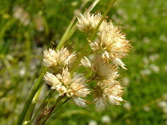 Luzula nivea (L.) DC.     -     Juncaceae     -     Luzule blanc de neige