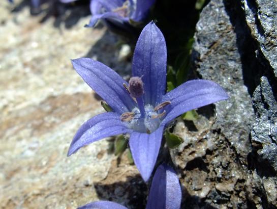 Campanula cenisia L. - Campanulaceae - Campanule du Mont Cenis