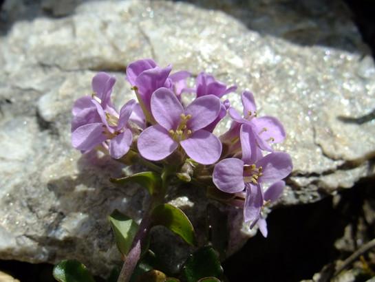 Thlaspi rotundifolium (L.) Gaudin     -     Brassicaceae     -     Tabouret à feuillles rondes
