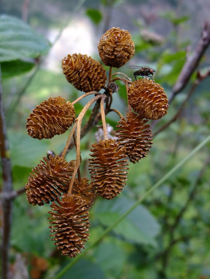 Alnus viridis (Chaix.) D.C.     -     Betulaceae     -     Aulne vert