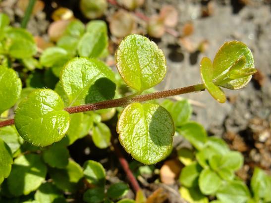 Linnaea borealis L.     -     Caprifoliaceae     -     Linnée boréale