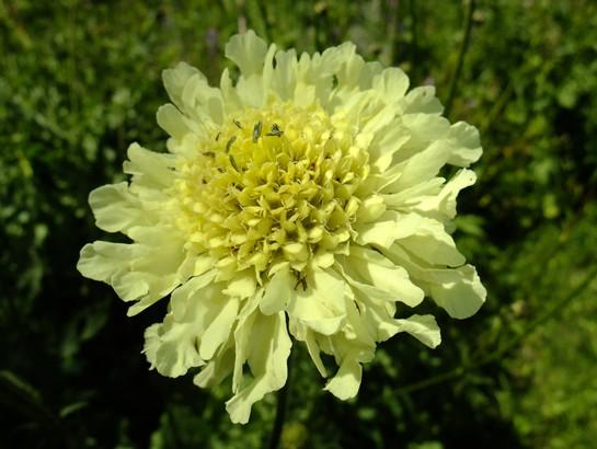 Cephalaria alpina (L.) Schrad. ex Roem. & Schult.     -     Dipsacaceae     -     Céphalaire des Alpes