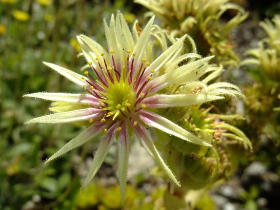Sempervivum grandiflorum Haw.     -     Crassulaceae     -     Joubarbe à grandes fleurs