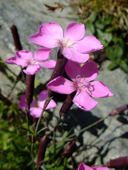 Dianthus sylvestris Wulfen     -      Caryophyllaceae     -     Oeillet des rochers