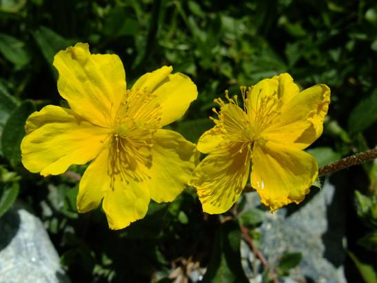 Helianthemum nummularium (L.) Mill.     -     Cistaceae     -     Hélianthème nummulaire