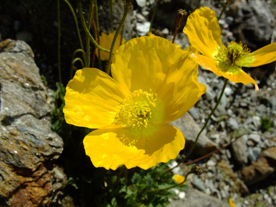 Papaver alpinum L.     -     Papaveraceae     -     Pavot des Alpes
