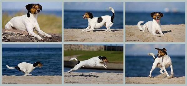 Dansk-Svens-Gardhund Einkreuzprojekt