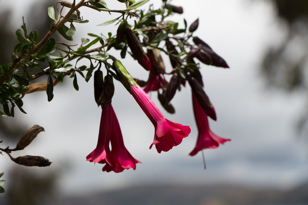The cantuta is the native flower of the peninsula of Capachica