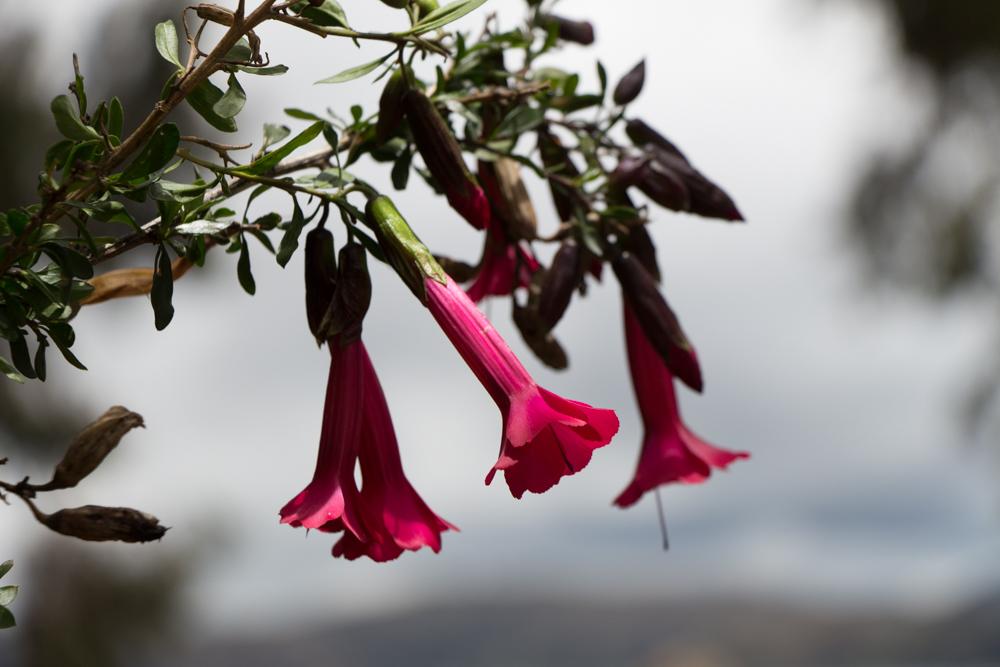 La cantuta est la fleur native de la péninsule de Capachica où est situé le village de Paramis