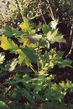 Quercus Rubra  |  Grün bis rote Blätter Aug. - Dez.