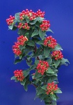 Hypericum Magical Red Fall  |  Rote Beeren ende Aug. - Sept.