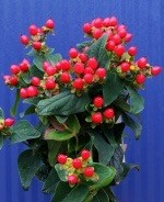 Hypericum Magical Red Fame | Rote Beeren Juli-August