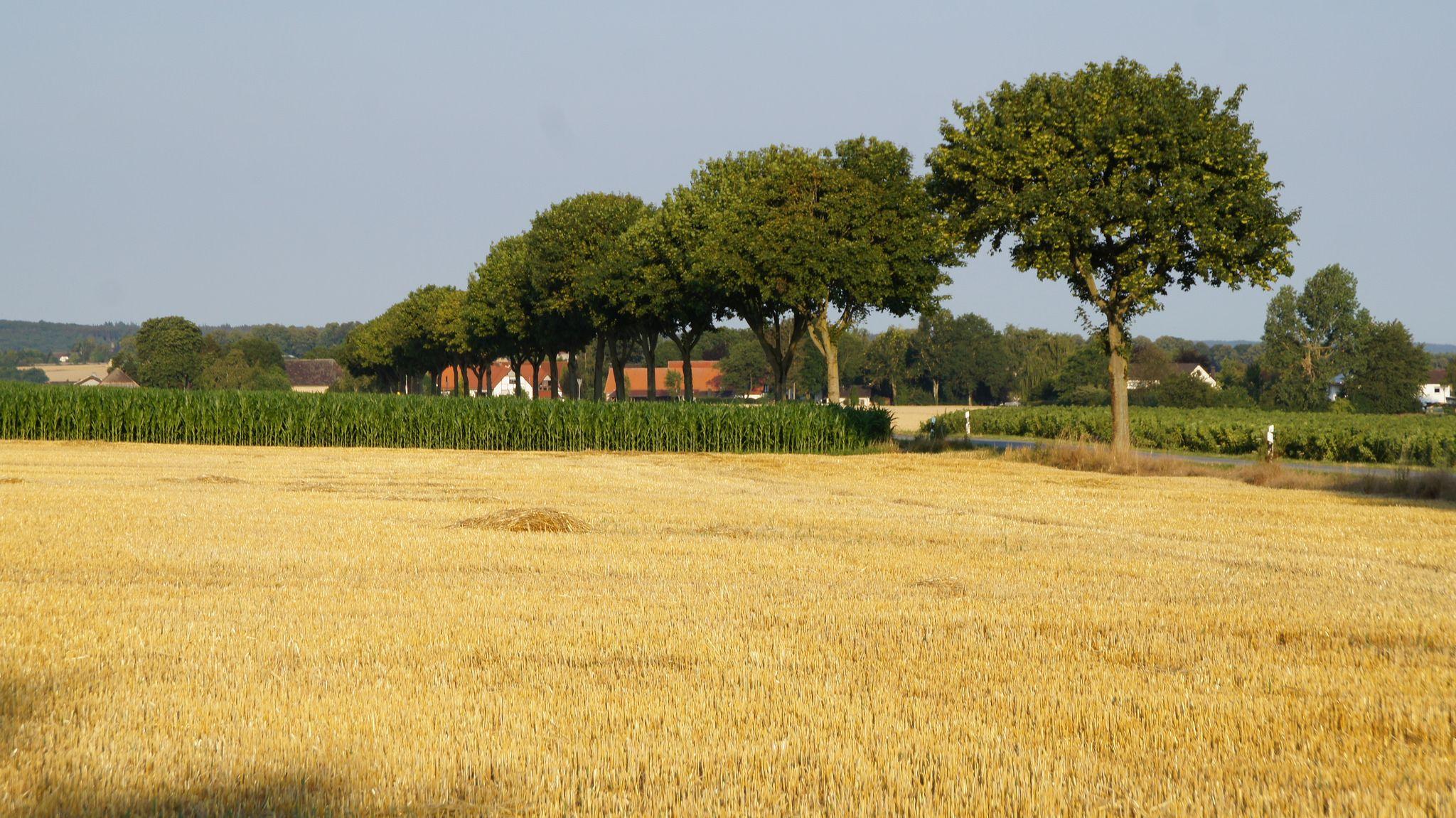 Kornfeld mit Blick auf Oberbergheim