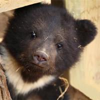 画像は警戒心が無く人にも甘噛などしてじゃれてくるツキノワ熊の小熊のイメージです。