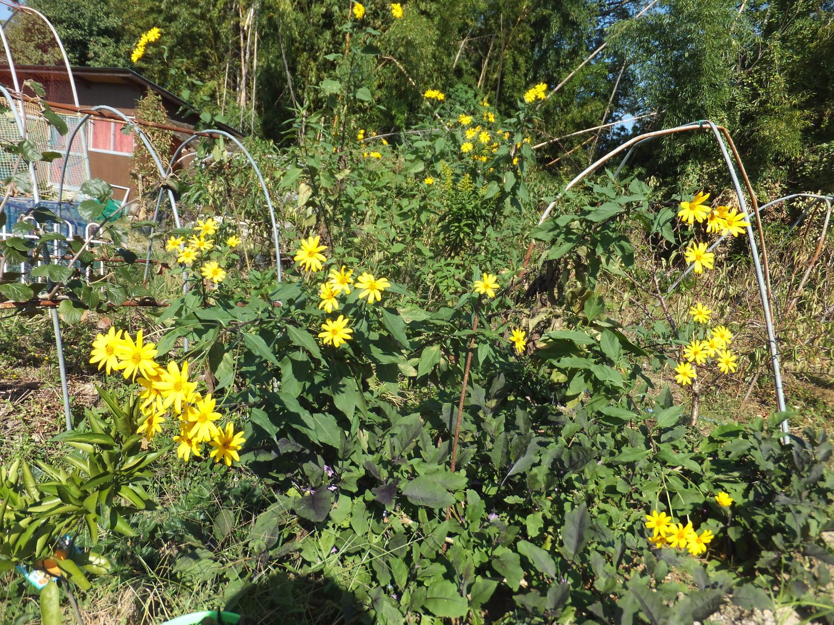 菊芋の黄色い花が咲いて綺麗です