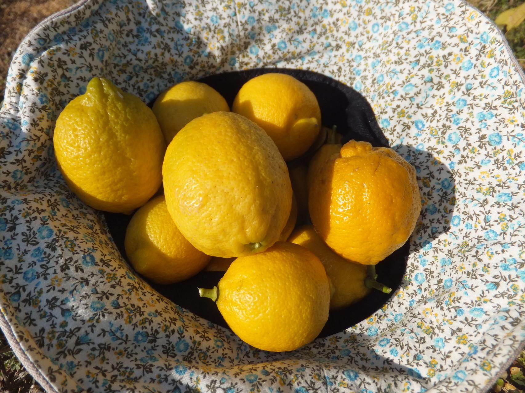 レモンも採ってきました