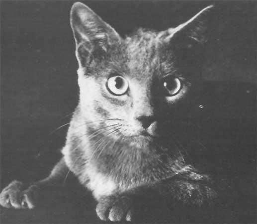 1965 г  американский кот - Felinest Silver Dollar