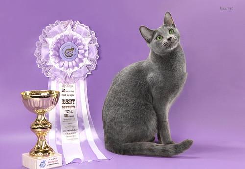 русская голубая кошка современного европейского типа - Astarte