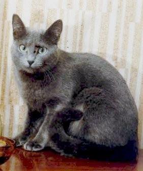 Норка Арнери - знаменитая фенотипичная кошка одного из первых российских питомников (начало 90-х), Ее можно найти в родословной нашей Aвроры.