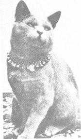 один из первых представителей русской голубой - кот Боярд (вы можете найти его в родословных животных нашего питомника)