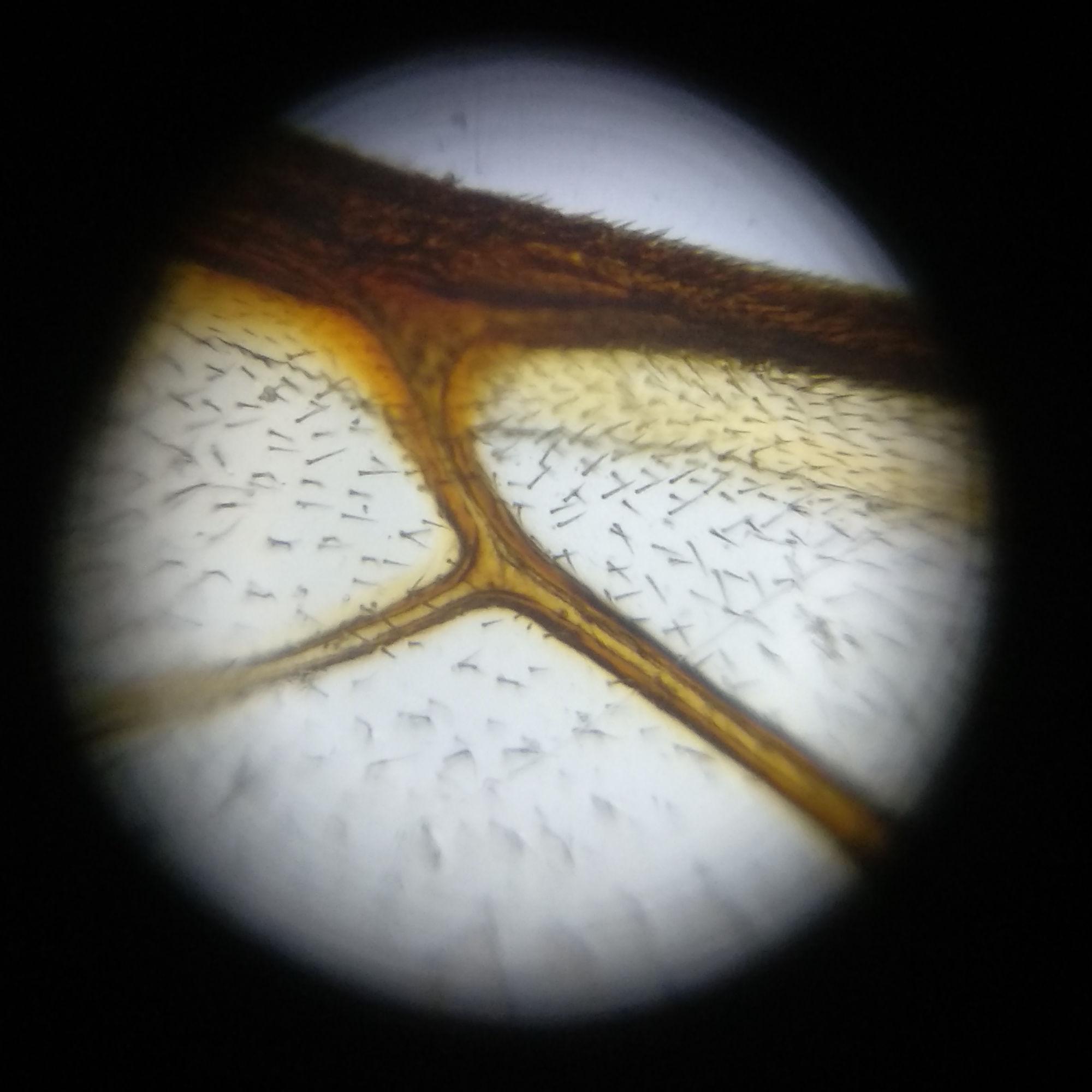 Haare auf einem Bienenflügel