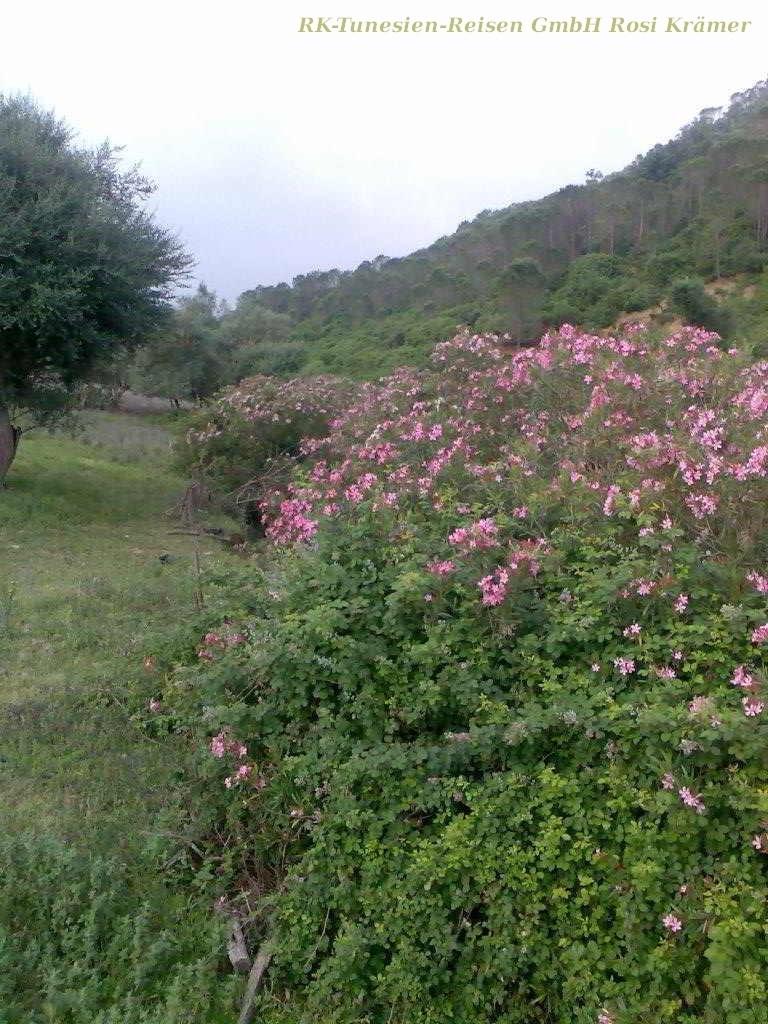 Wilder Oleander säumt die Bachläufe in den Kroumirie-Bergen