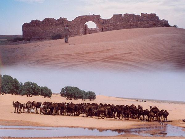 Oase Ksar Ghilane, historisches Ksar, Dromedarherde am Brunnen