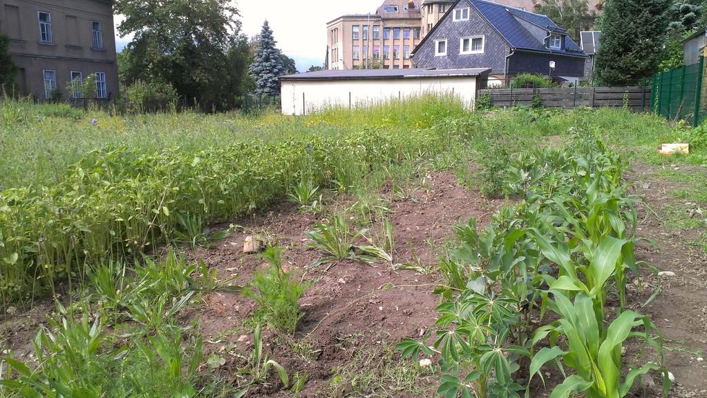 Sonnenblumen, Bohnen und Mais