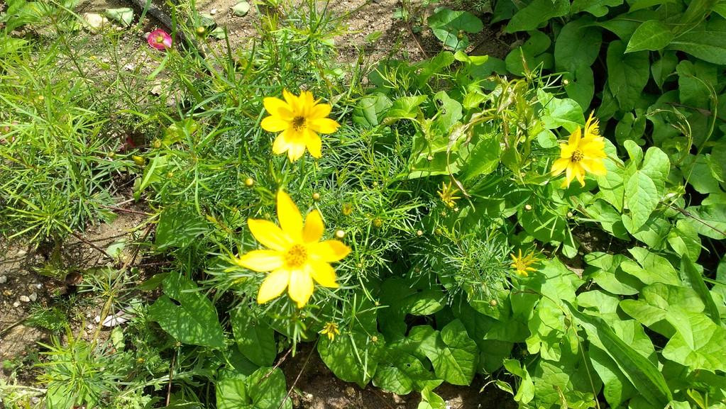 Blüten wie kleine Sterne...